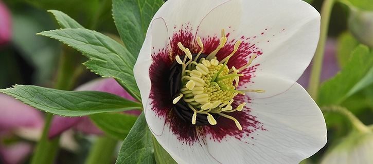 Ashwood Nurseries Hellebores Online