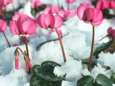 Cyclamen coum Rose pink shades
