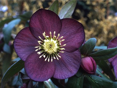 Helleborus x hybridus (Ashwood Garden Hybrids) Single dusky grape Lenten Rose