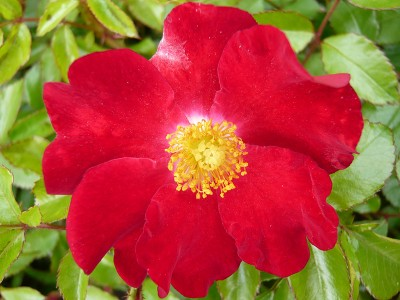 Rosa Flower Carpet Red Velvet Ground Cover
