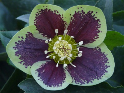 Helleborus x hybridus (Ashwood Garden Hybrids) Single green shades blotched Lenten Rose