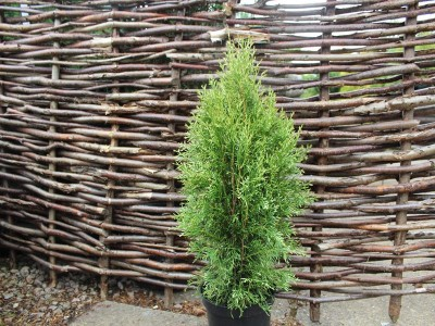 Thuja occidentalis White