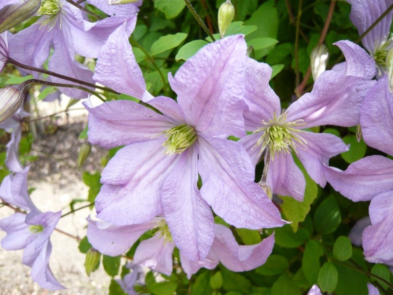 clematis 39 prince charles 39 climbing wall plants plants. Black Bedroom Furniture Sets. Home Design Ideas
