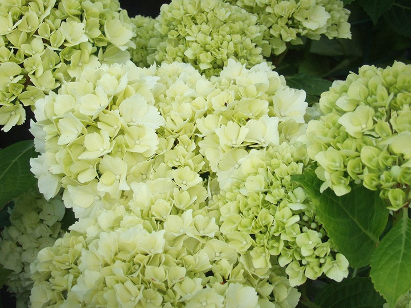 hydrangea macrophylla 39 ave maria 39. Black Bedroom Furniture Sets. Home Design Ideas