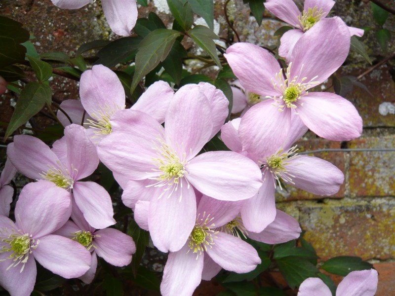clematis 39 elizabeth 39 climbing wall plants plants. Black Bedroom Furniture Sets. Home Design Ideas