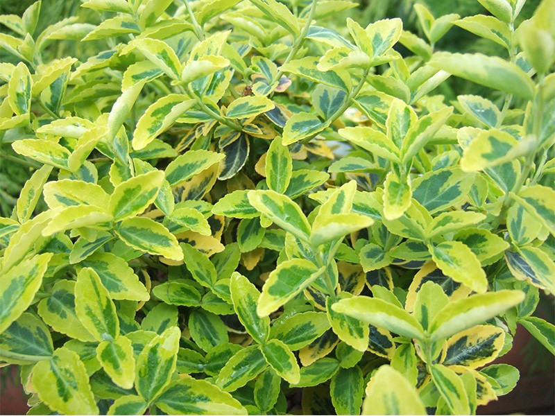 euonymus fortunei 39 emerald and gold 39 shrubs plants. Black Bedroom Furniture Sets. Home Design Ideas