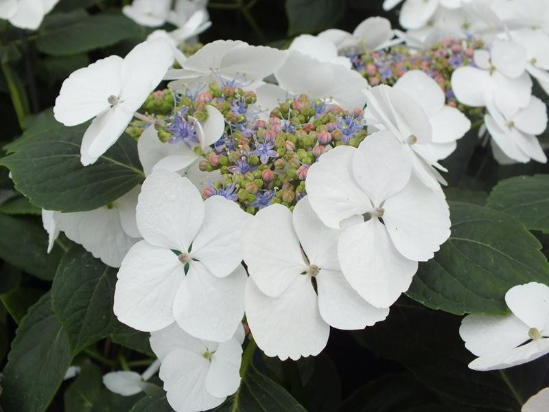 hydrangea macrophylla 39 bachstelze 39 macrophylla. Black Bedroom Furniture Sets. Home Design Ideas