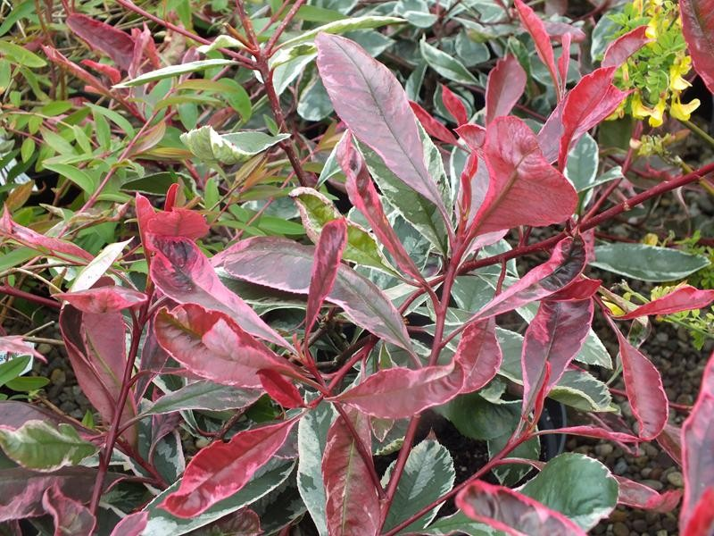 Https Static Ashwoodnurseries Media Catalog Product Cache 1 Image 9df78eab33525d08d6e5fb8d27136e95 P H Photinia X Fraseri Pink Marble Resized Jpg