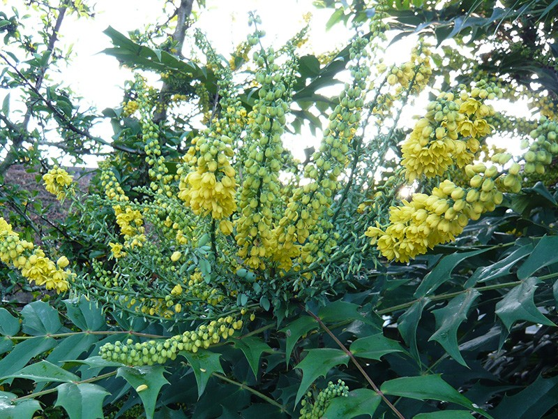 Mahonia japonica shrubs plants for Mahonia japonica