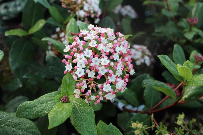 viburnum tinus 39 gwenllian 39 shrubs plants. Black Bedroom Furniture Sets. Home Design Ideas