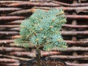 Abies concolor 'Pigglemee'