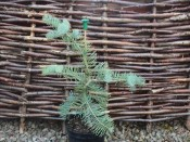 Abies concolor 'Violacea'