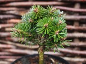 Abies koreana 'Wellenseind'