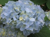 Hydrangea macrophylla 'All Summer Beauty'