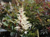 Astilbe x arendsii 'Cappuccino'