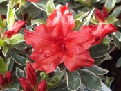 Rhododendron 'Girard's Hot Shot Variegated'