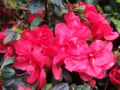 Rhododendron 'Mother's Day'
