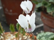 Cyclamen hederifolium Bowles Apollo Group