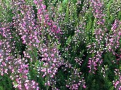 Calluna vulgaris Autumn bud heather Purple/Mauve shades (9cm pot)