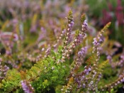 Calluna vulgaris 'Multicolor' (9cm pot)