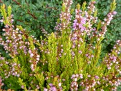 Calluna vulgaris 'Red Haze' (1 litre pot)