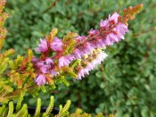 Calluna vulgaris 'Wickwar Flame' (1litre pot)
