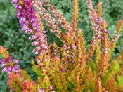 Calluna vulgaris 'Winter Chocolate' (1Litre pot)