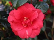 Camellia japonica 'St. Andre'