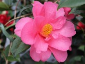 Camellia x williamsii 'Elegant Beauty'