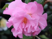 Camellia x williamsii 'Gay Time'