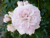 Rosa 'Cheek to Cheek'