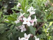 Daphne × transatlantica 'Eternal Fragrance'