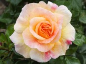 Rosa 'Designer Sunset'