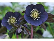 Ashwood Hellebore Greeting Cards Pack of 5 Black Hellebore