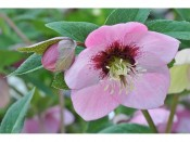 Ashwood Hellebore Greeting Cards Pack of 5 Single Pink Shades