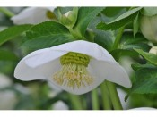 Ashwood Hellebore Greeting Cards Pack of 5 Pure White