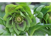 Ashwood Hellebore Greeting Cards Pack of 5 Double Green