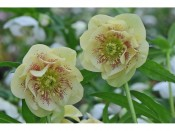 Ashwood Hellebore Greeting Cards Pack of 5 Double Primrose Yellow
