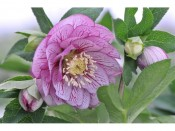 Ashwood Hellebore Greeting Cards Pack of 5 Double Pink Shades