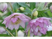 Ashwood Hellebore Greeting Cards Pack of 5 Double Pink Picotee