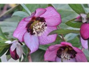 Ashwood Hellebore Greeting Cards Pack of 5 Single Bicolour Shades