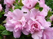Rhododendron 'Betty Anne Voss'