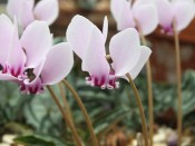 Cyclamen hederifolium 'Fairy Rings'