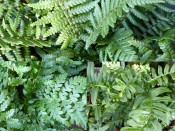 A Beginner's Collection of Ferns (Three Plants)