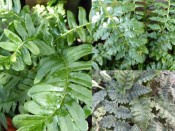 A Collection of Ferns for Dry Shade (Three Plants)
