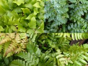 An Evergreen Fern Collection (Three Plants)