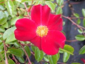 Rosa floribunda 'Flower Carpet Ruby' (standard)