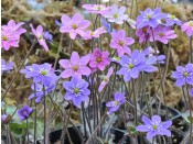 Hepatica acutiloba x nobilis (mixed colours)