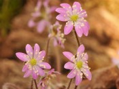 Hepatica asiatica (China)