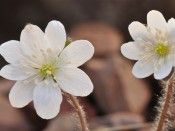 Hepatica asiatica (Korea)